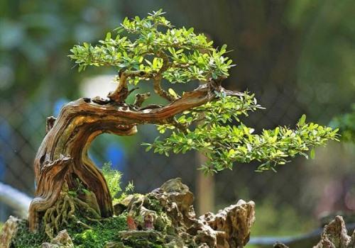 cham-soc-bonsai-dieu-kien-anh-sang