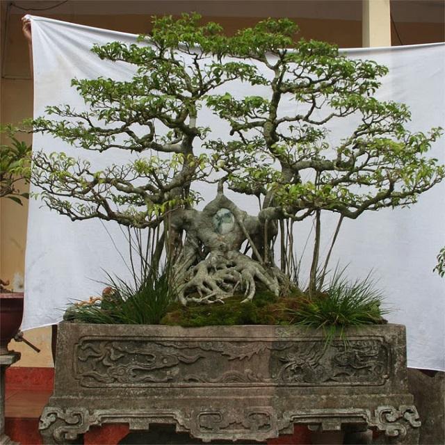 the-cay-canh-luong-long-tranh-chau